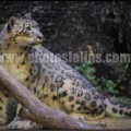 Ser-Bioparc-pantheredesneiges-03-4928x3280