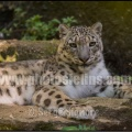 Ser-Bioparc-pantheredesneiges-04-4928x3280
