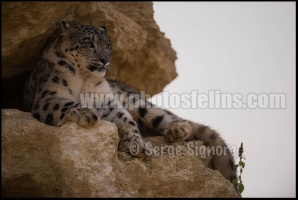 Ser-Bioparc-pantheredesneiges-05-4928x3280